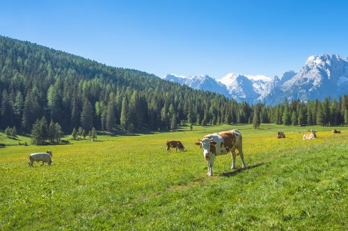 Cows grazing in a pasture in the mountains